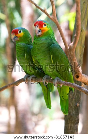 Macaws parrots couple in Xcaret park. Mexico. - stock photo