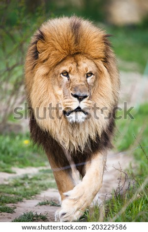 Macestic lion walking