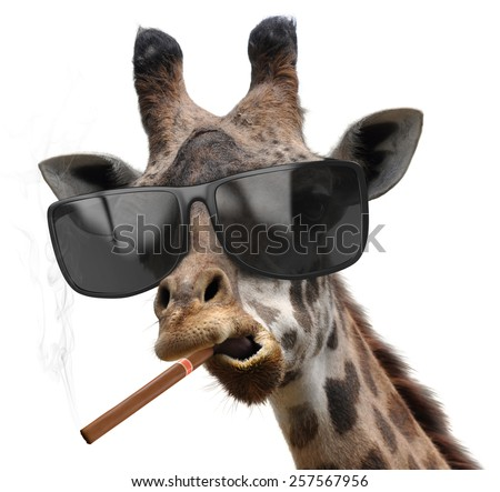 Macho giraffe with cool sunglasses smoking a cuban cigar like a boss - stock photo