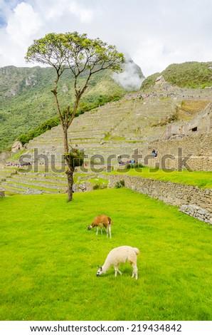 Machu Picchu, Peru - llamas in ruins - stock photo