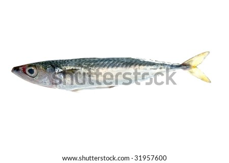 Mackerel fish isolated on white macro detail