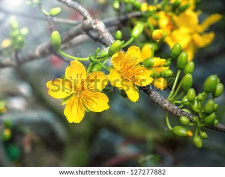 Macro a  ochna integerrima integerrima branch, the flowers of traditional Vietnamese new year - stock photo