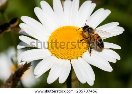 Macro Bee on a daisy - stock photo