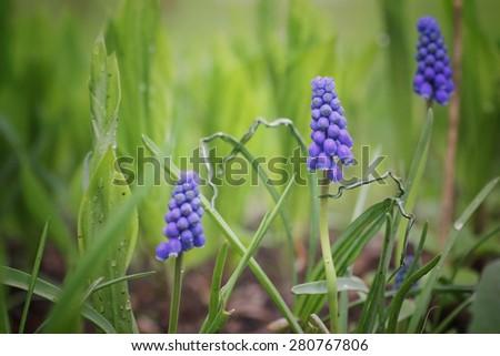 Macro blue hyacinths - stock photo