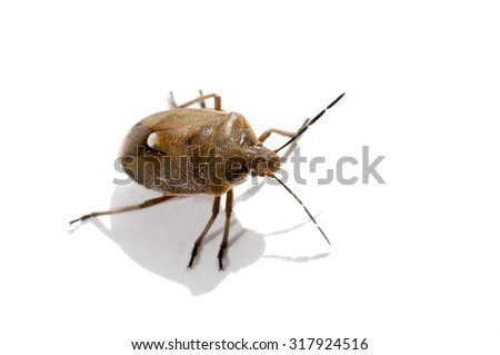 Macro bug isolated Picromerus bidens - stock photo