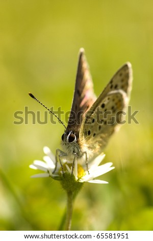 Macro butterfly resting on common daisy flower with green nature background. - stock photo