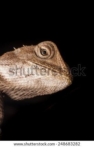 Macro chameleon Thailand - stock photo