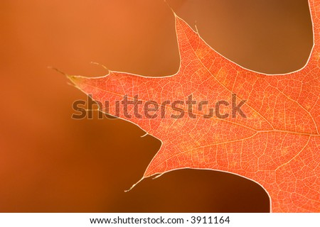 Macro/close-up image of an orange, backlit Pin Oak leaf. Behind it in the distance, other leaves color the background a smooth Autumn color. - stock photo