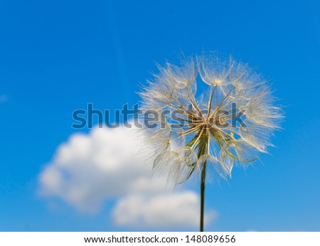 Macro close-up of a dandelion against a blue sky and a white cloud on a summer day - stock photo