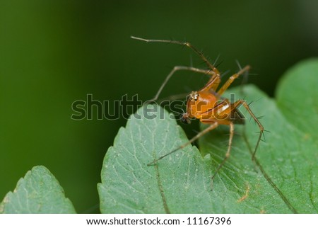 Macro/close-up of a reddish lynx spider on a green leaf