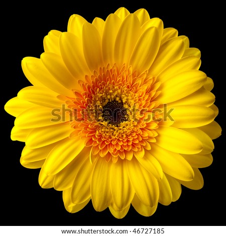 Macro close-up of a yellow daisy flower isolated on black. - stock photo