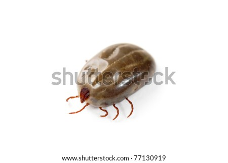 Macro close-up of female tick on a white background - stock photo