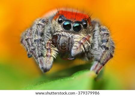 Macro close up of Phiddipus whitmani jumping spider - stock photo