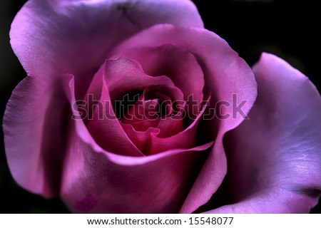 Macro close-up of Valentine's Day rose. - stock photo