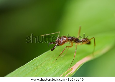 Macro/close-up shot of a red ant on a blade of grass - stock photo