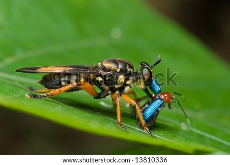 Macro/close-up shot of a robberfly with prey - a blue beetle - stock photo