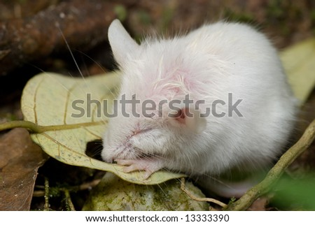 Macro/close-up shot of a white mouse