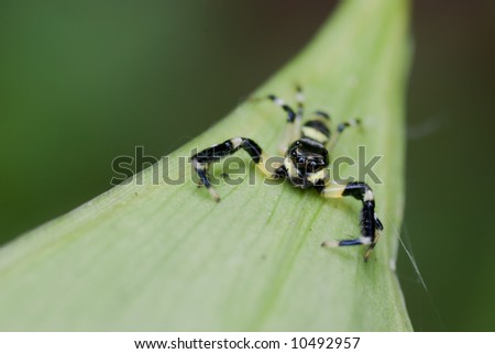 Macro/close-up shot of a yellow and black jumping spider
