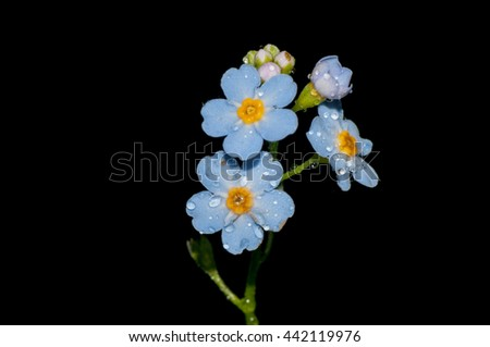 Macro closeup of a Forget Me Not Flower. - stock photo