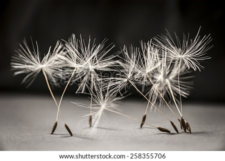 Macro closeup of dandelion seeds standing up on gray and black background - stock photo
