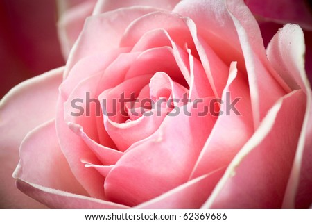 Macro closeup shot of a single pink rose. Shallow depth of field, selective focus. - stock photo