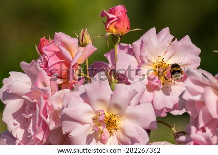 Macro detail of a bee collecting pollen on a flower - stock photo