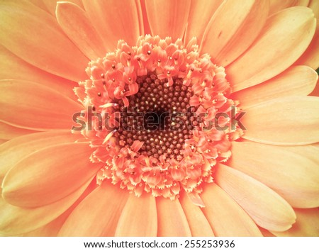 Macro detail of a vintage light pale pink color gerber flower head - stock photo