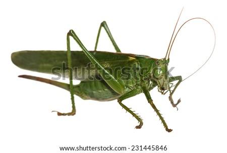 macro detail of European woodland grasshopper isolated on white background (Tettigonia viridissima) - stock photo