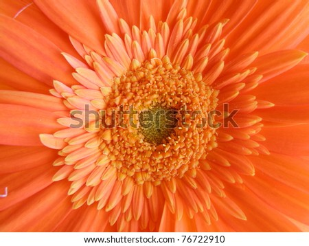 macro detail of orange gerber isolated over white background - stock photo