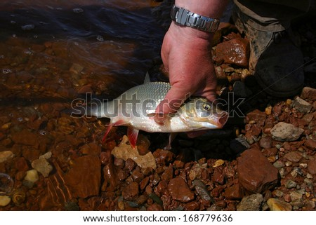macro freshly caught river fish on a hook in the clear water and rocky bottom brown