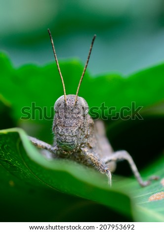 macro front view  of brown grasshopper hanging on leaf ; selective focus at eyes  with blur background - stock photo