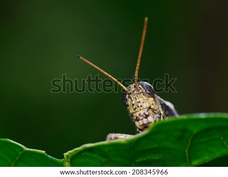 macro front view of  brown  yellow grasshopper standing on leaf ; selective focus at eye with dark green blur background - stock photo