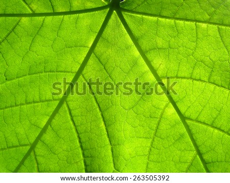 macro green maple leaf - stock photo