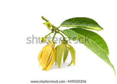 Macro green Ylang-Ylang flower on white background - stock photo