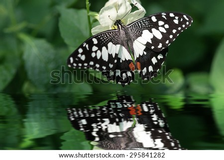 Macro image Butterfly with water reflection - stock photo