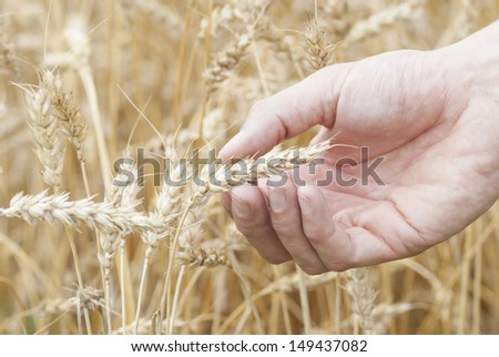 Macro image hand holding ear of ripe wheat (Triticum).