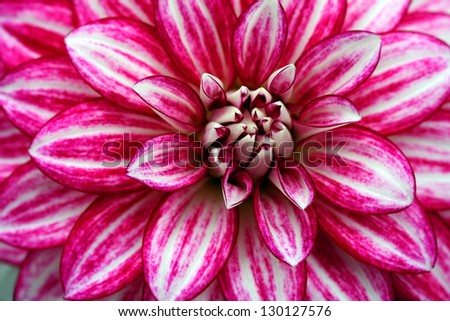 Macro image of a garden dahlia flower with pink streaks on petals - stock photo