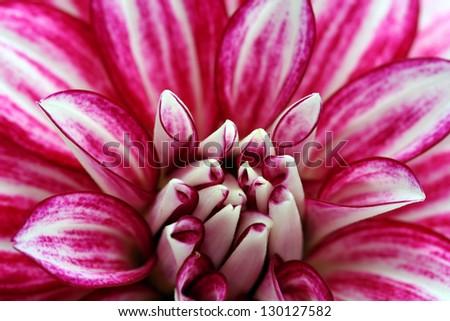 Macro image of a garden dahlia flower with pink streaks on petals - stock photo
