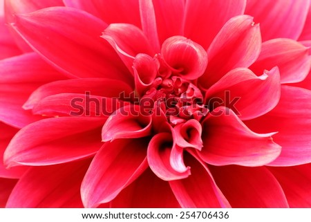 Macro image of a light red dahlia flower in fresh blossom - stock photo