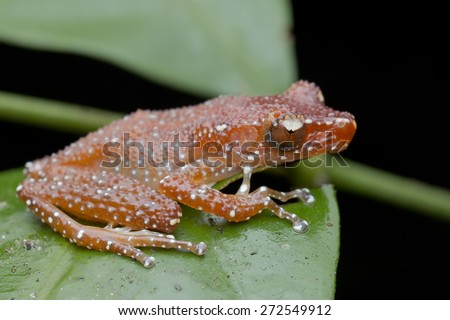 Macro image of a White-spotted Tree Frog / Cinnamon Frog