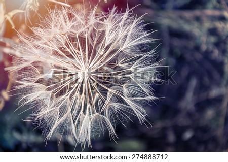 Macro image of big beautiful dandelion. Small depth of field. Creative vintage filter, retro effect - stock photo