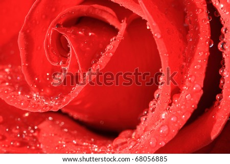 Macro image of dark red rose with water droplets - stock photo