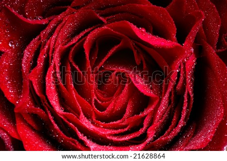 Macro-Image of dark red Rose with water droplets - extreme close-up with very shallow dof. - stock photo