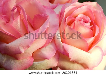 macro image of two pink roses