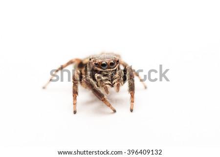 Macro jumping spider on white background - stock photo