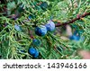 Macro juniper - stock photo