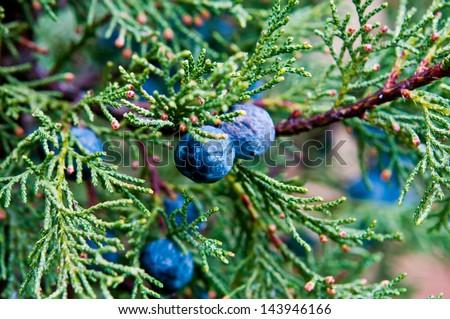 Macro juniper - stock photo