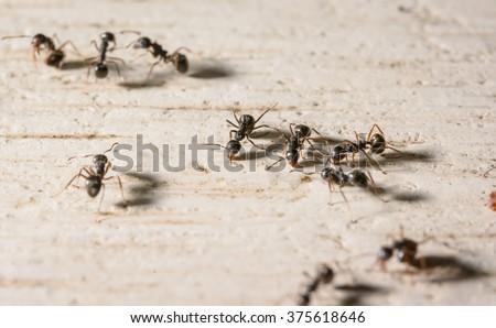 macro lot of black ants on wood - stock photo