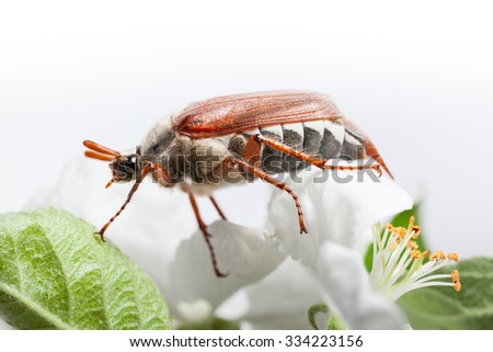 Macro low angle view Maybug beetle (Cotinis nitida) on apple white flower  - stock photo