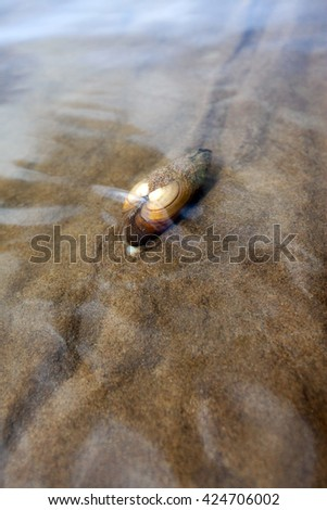 macro mussel in the river under water in shallow water - stock photo